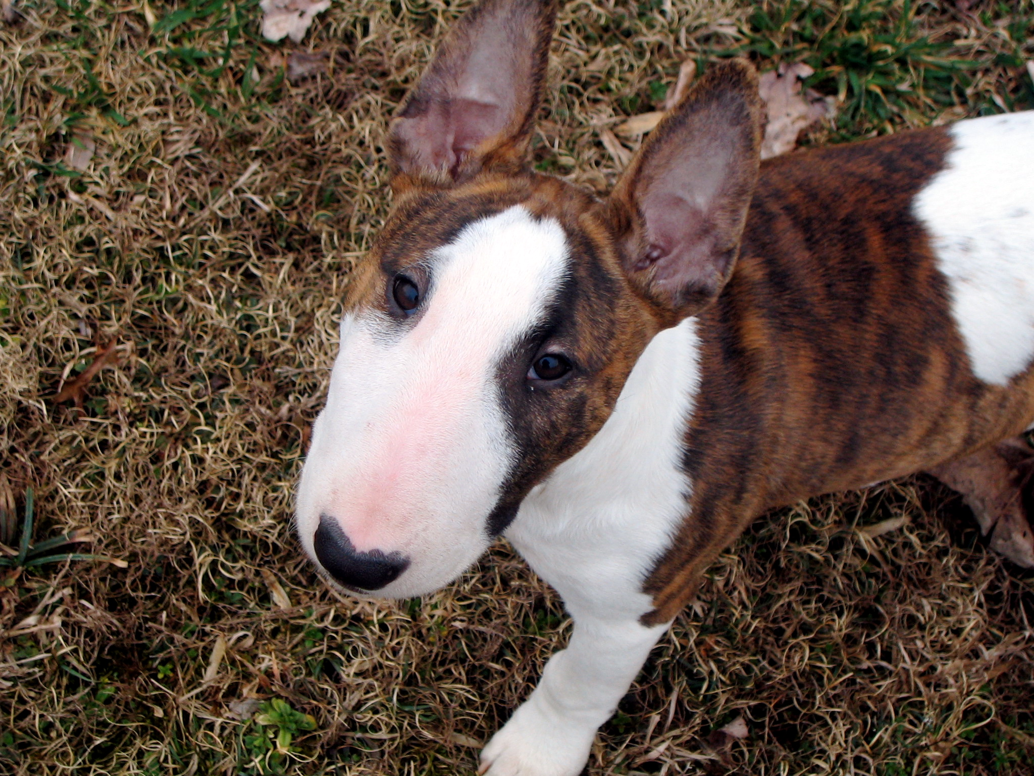 Bull terriers for English terrier