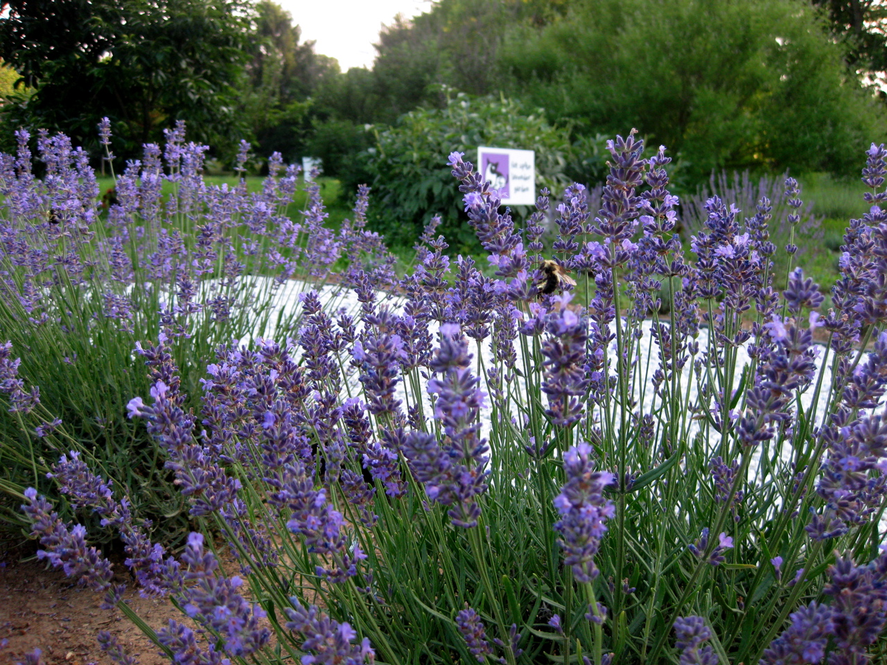 Lavender in bloom at Stargazers Vineyard and Winery