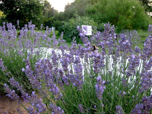 English lavender - 1